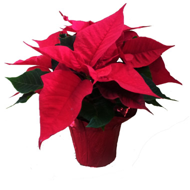 poinsettia-on-the-ground-clean