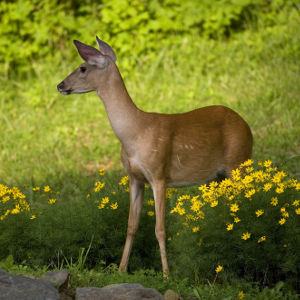 whitetail doe assuming a pose in a garden
